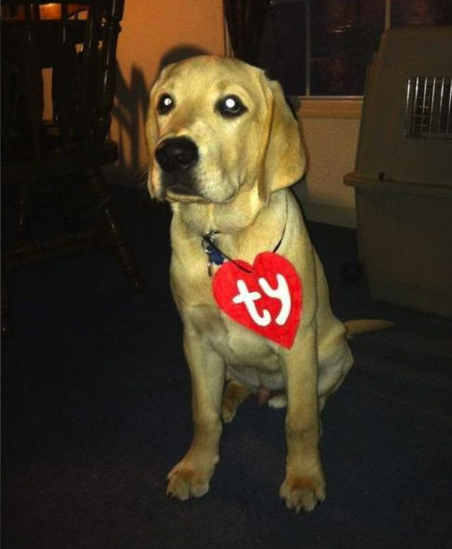 DIY Halloween Costume For Dogs  TY puppy great simple costume idea