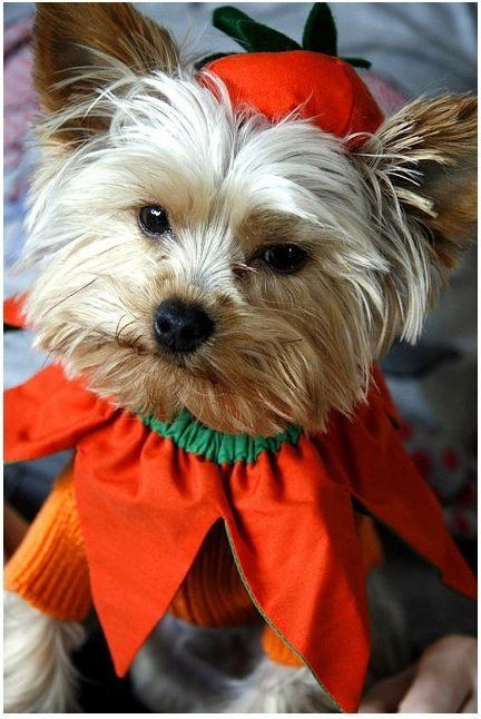 DIY Halloween Costume For Dogs  DIY Dog Halloween Costumes
