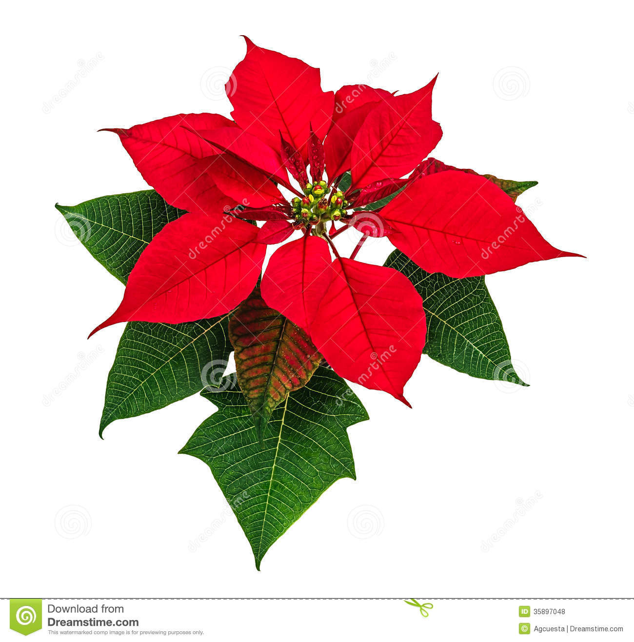 Red Christmas Flower  Poinsettia flower stock photo Image of petals nature