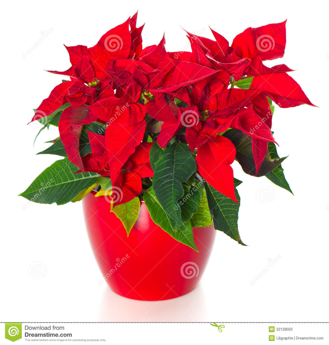 Red Christmas Flower  Beautiful Poinsettia Red Christmas Flower Stock