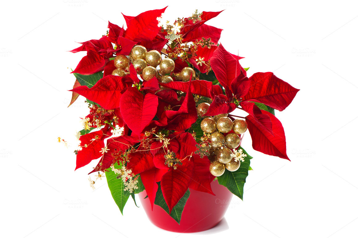 Red Christmas Flower  Poinsettia Red Christmas Flower Holiday s on