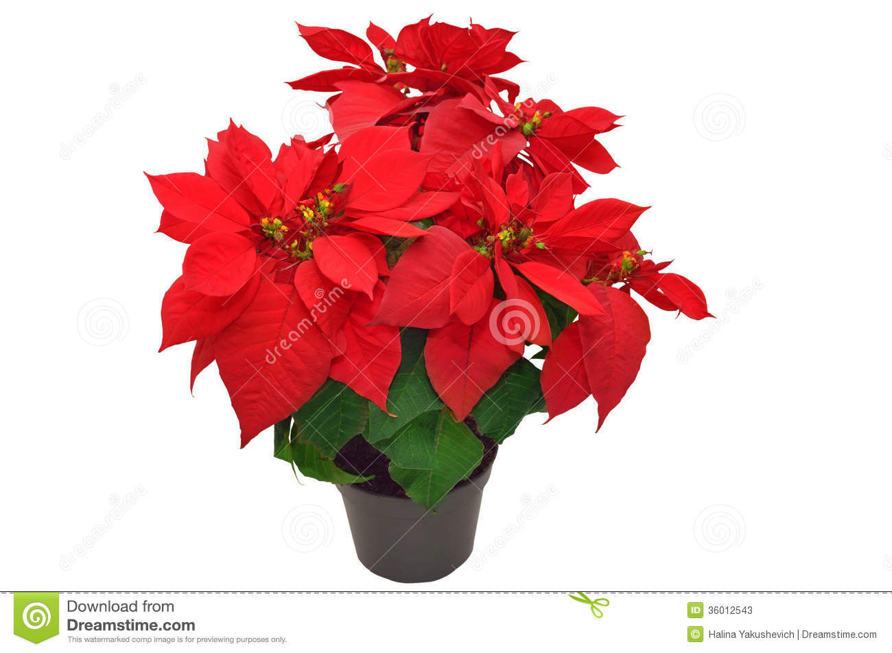 Red Christmas Flower  Beautiful Poinsettia Stock s Image