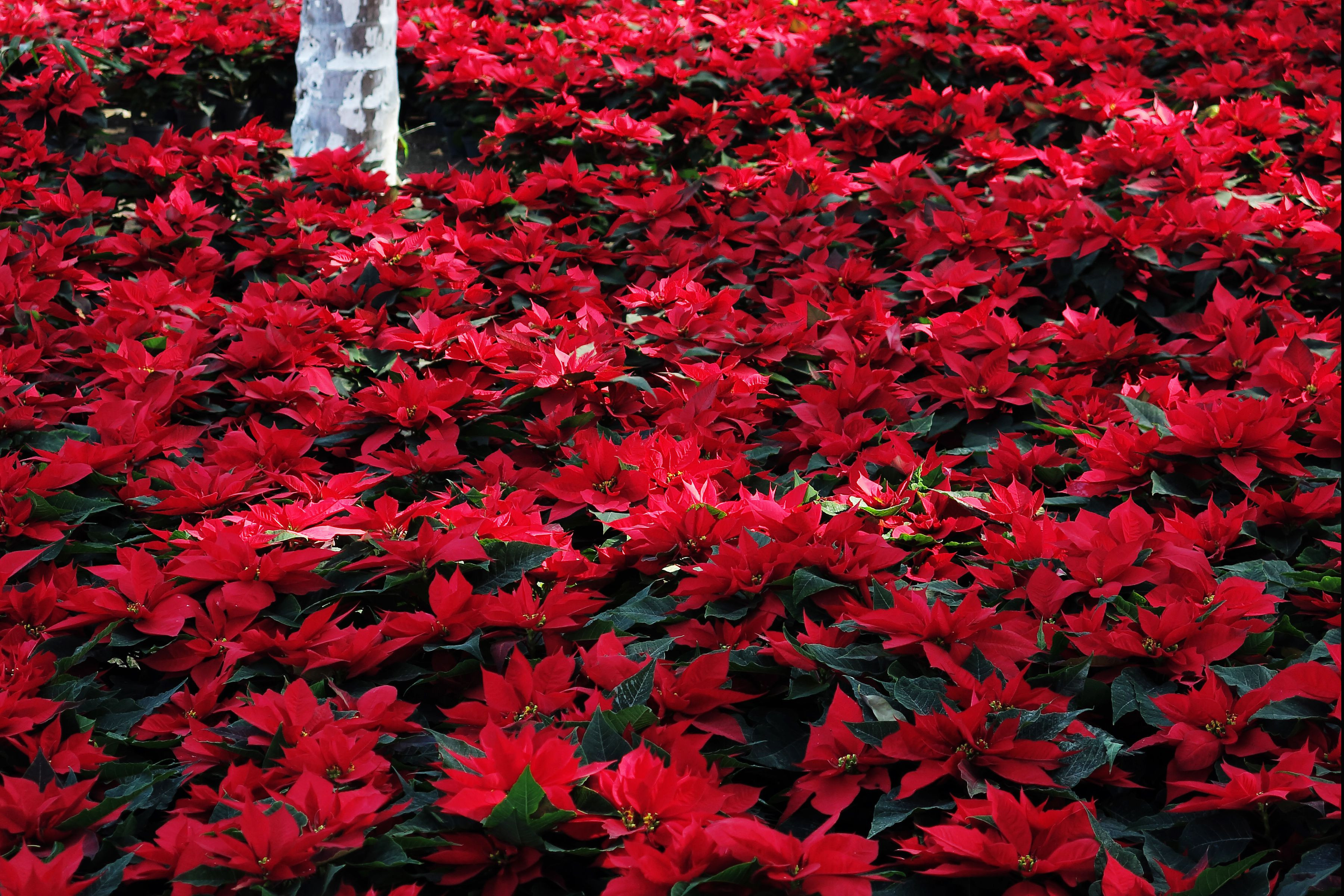 Red Christmas Flower  Poinsettia Mexican Christmas Flower