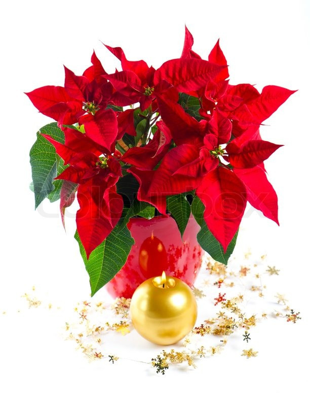 Red Christmas Flower  Red poinsettia christmas flower with golden decoration and
