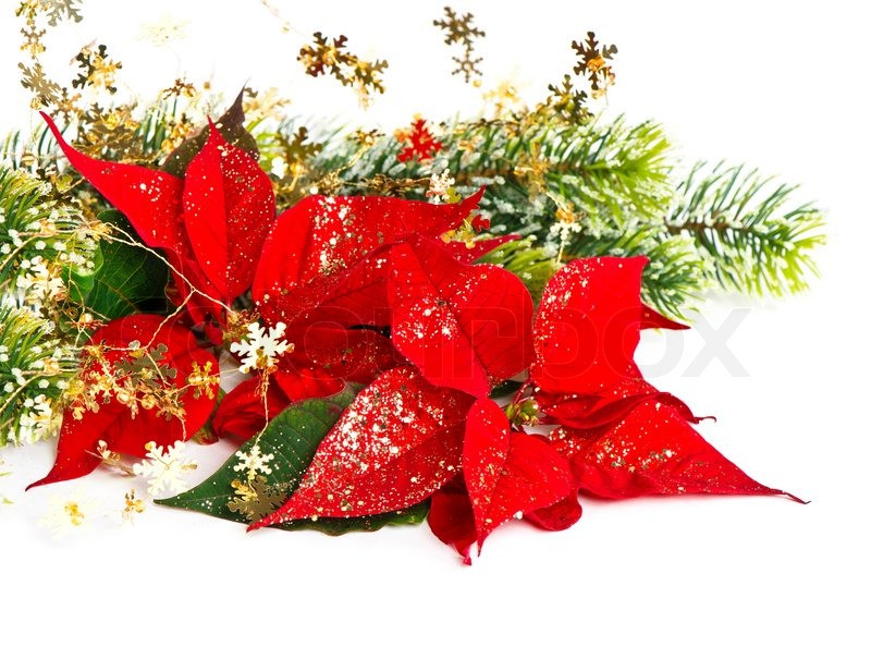 Red Christmas Flower  Red Poinsettia Christmas Flower with golden decoration