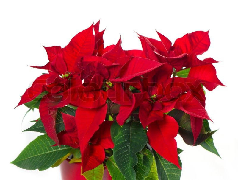 Red Christmas Flower  Beautiful poinsettia red christmas flower