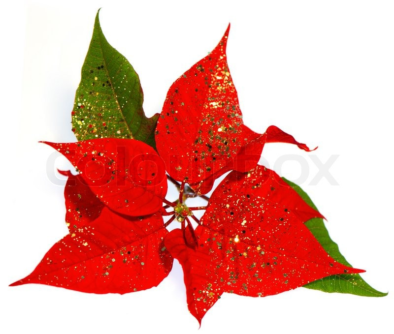 Red Christmas Flower  Red Poinsettia christmas flower with