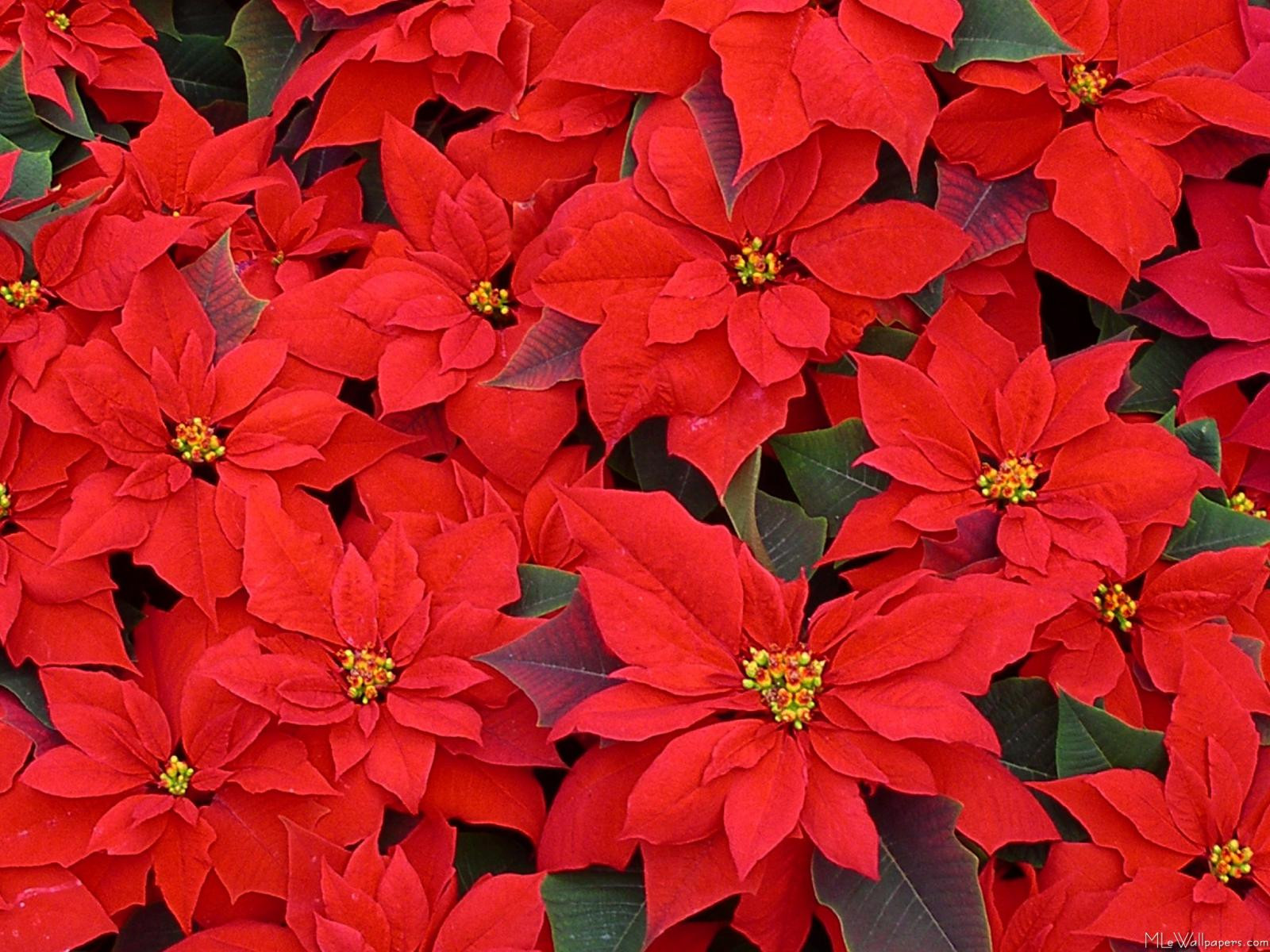 Red Christmas Flower  MLeWallpapers Red Poinsettias
