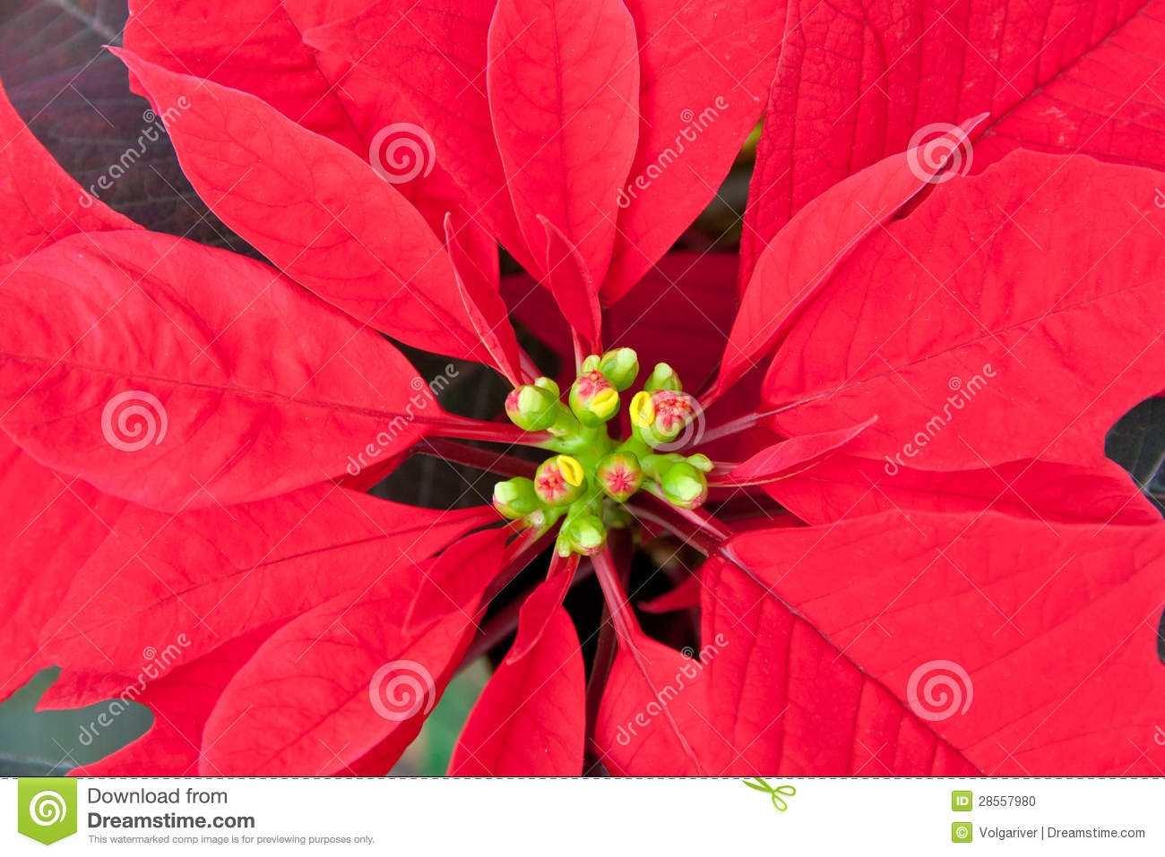 Red Christmas Flower  Red Poinsettia Close up Royalty Free Stock Image